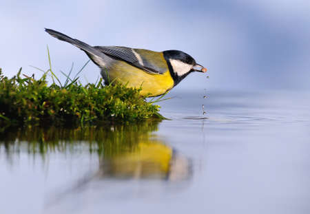 Parus major, great tit  reflection on the water  photo