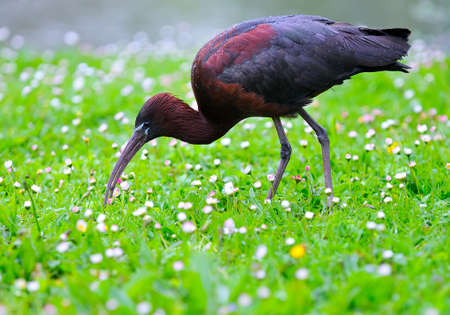 Glossy ibis, Plegadis falcinellus in the field  photo