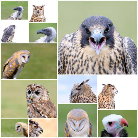 falconry: A collage with a different falconry birds. Stock Photo