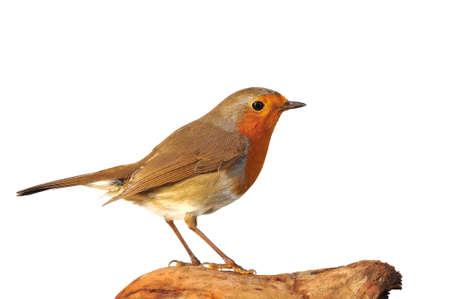erithacus: Robin, erithacus rubecula isolated on white background