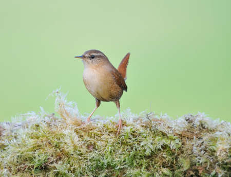 troglodytes: Wren, Troglodytes troglodytes perched on a stone with moss.