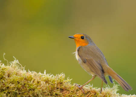 rubecula: Robin, erithacus rubecula perched on a log with moss