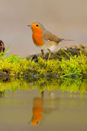 rubecula: Robin, erithacus rubecula reflected in the pond water. Stock Photo