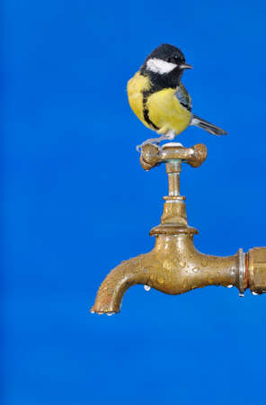 Bird perched on a faucet drinking water. photo