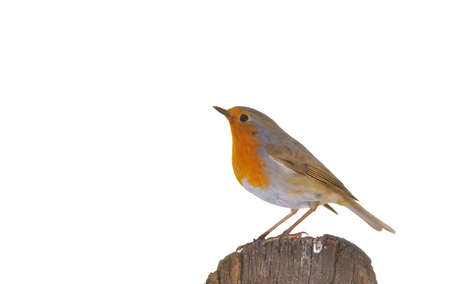 rubecula: Robin, erithacus rubecula perched on a log and isolated on white background Stock Photo