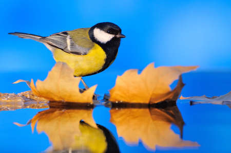 waterscape: Close-up of tit sitting on autumnal leaves. Blue background. Water.