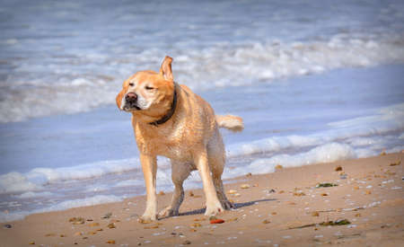 shake off: Funny wet dog shaking off water on beach. Background of foam on sea waves