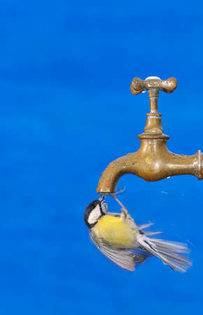 big bird: Big tit drinking from faucet against of blue bright background.