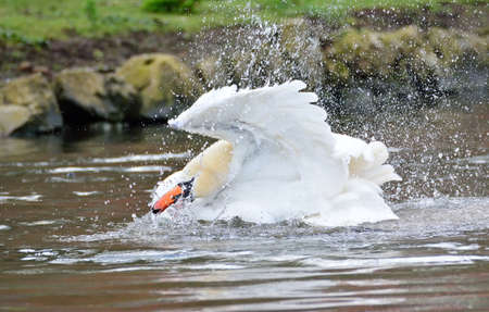 flapping: Close-up of white swan swimming in lake while flapping wings. Stone coast on background Stock Photo