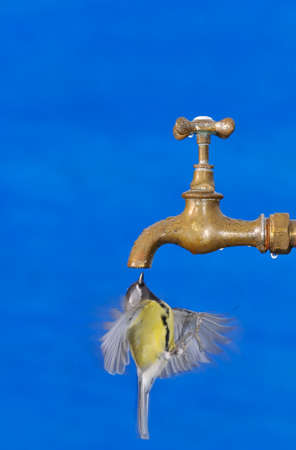 thirsty bird: Flying great tit drinking from faucet against of blue background. Isolated.