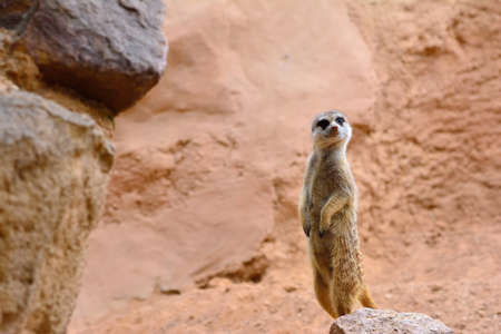 attentive: Close-up of attentive suricate standing on rock. Sandy background