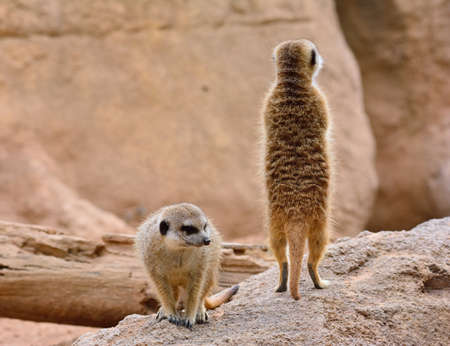 rock formation: Close-up of two suricates. Rock formation on background