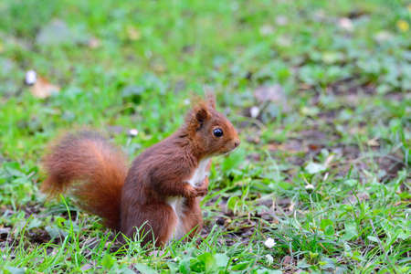 flowered: Close-up of curious red squirrel on green meadow. Bokeh