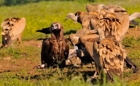 carrion: Cinereous vulture with griffon vultures eating carrion Stock Photo