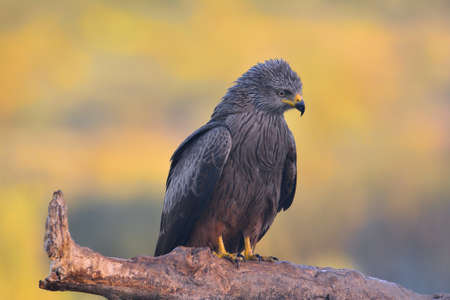 milvus: Black kite at dawn perched on a branch.