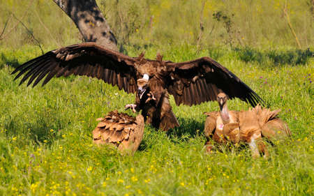 raptorial: Cinereous vulture attacking a griffon vulture in the meadow of Extremadura, Spain.