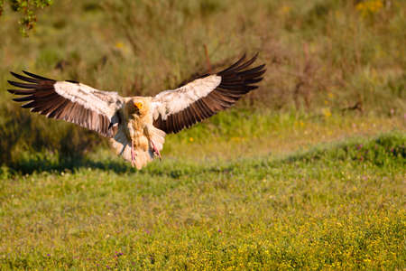 Egyptian vulture landing with outstretched wings on a flowery field.