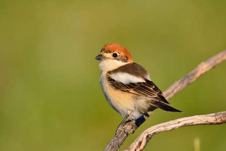 senator: Woodchat shrike perched on a branch with green background. Stock Photo