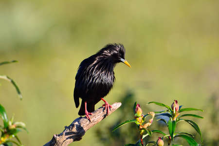 call of nature: Spotless starling perched on a branch with green background. Stock Photo