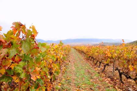 rioja: Vineyards in the province of La Rioja in Spain.