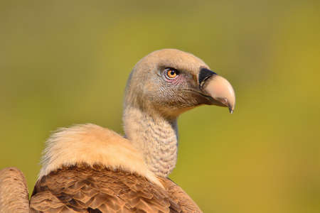 pecker: Beige and brown griffon vulture looking away against of green background.