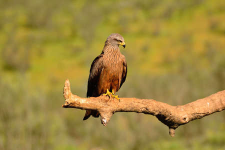 black kite: Close-up of black kite looking away while sitting on branch against of unfocused green background
