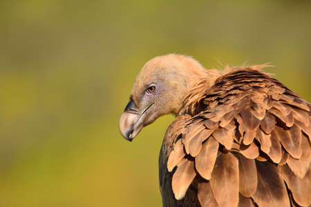 gyps: Beige and brown griffon vulture looking away against of green background.