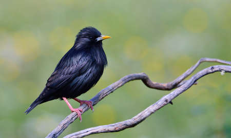 spotless: Spotless starling perched on a branch with green background. Stock Photo