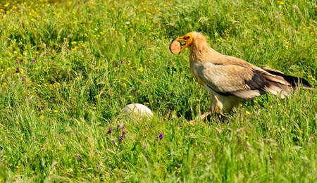 beak vulture: Egyptian vulture with a stone in its beak to break an egg.