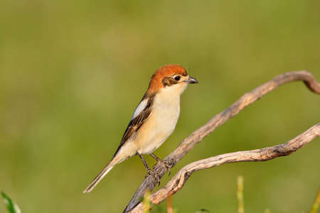 Woodchat shrike perched on a branch with green background. Stock Photo