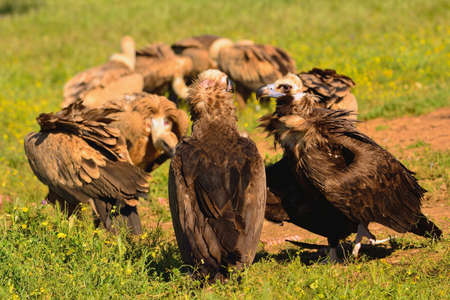 carrion: Two cinereous vulture with griffon vultures eating carrion Stock Photo