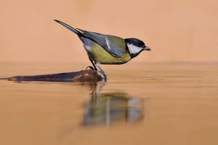 calved: Side view of Great tit bird on water
