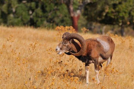mouflon: European mouflon in the field in autumn.