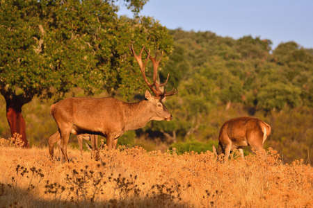 bawl: Powerful adult red deer stag in autumn meadow. Stock Photo