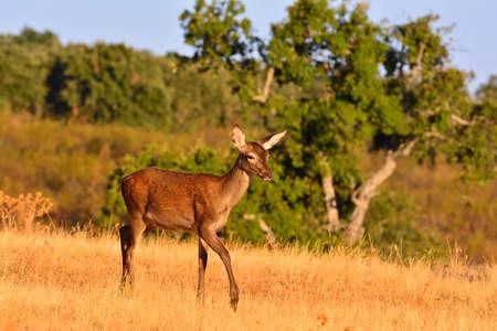 bawl: Portrait of brocket red deer stag in autumn meadow.