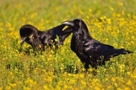 Crow in a field of flowers in spring
