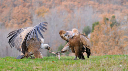 gyps: Two griffon vultures fighting over carrion in the meadow.