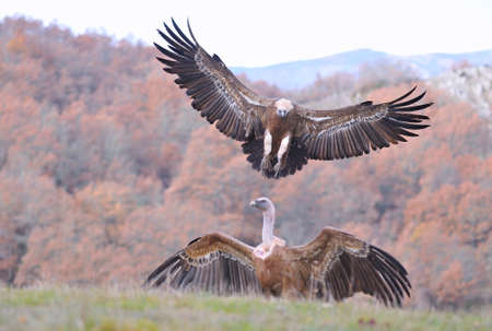 gyps: Griffon vulture landing on the meadow with another vulture perched Stock Photo