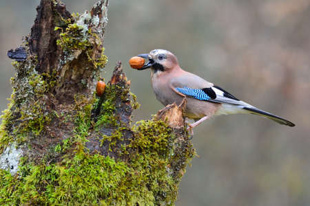 Eurasian jay with a walnut in the beak perched on a log. Stock Photo
