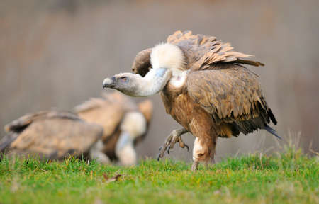 scavenger: Griffon vulture in the meadow of Leon in Spain