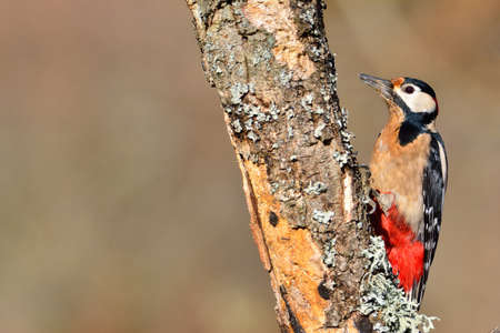 pecker: Great spotted woodpecker perched on a log in the rain