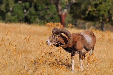 European mouflon in the field in autumn.