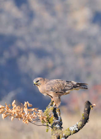 Common buzzard perched on a branch in the sun. Stock Photo