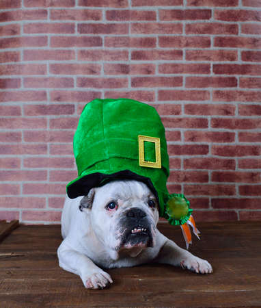 Portrait of French bulldog angry with a Saint Patrick cap Stok Fotoğraf