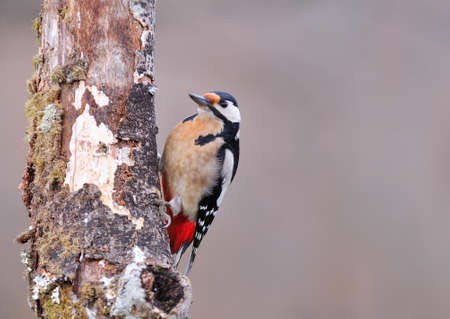pájaro carpintero: Great spotted woodpecker perched on a log.