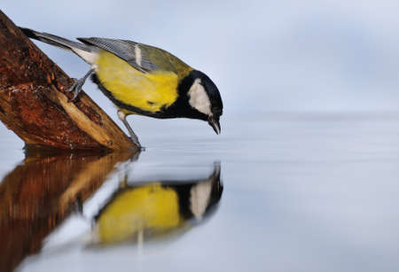 Great tit drinking water in the pond with the blue light of sky in the background.