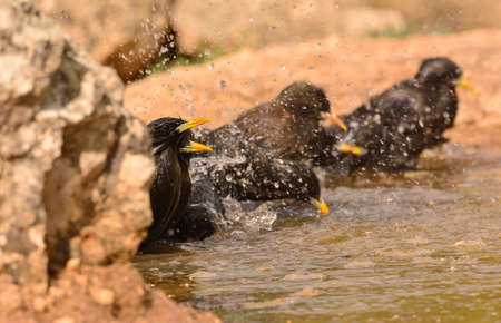 Several spotless starling bathing in a pond in the countryside.