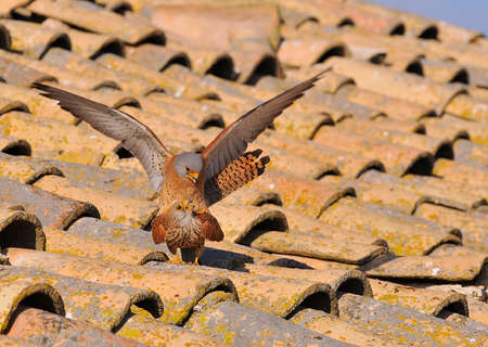 Male and female of Lesser kestrel copulating.