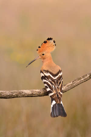 Eurasian Hoopoe or Upupa epops, beautiful brown bird perching on branch waiting to feed its chicks with brown background.