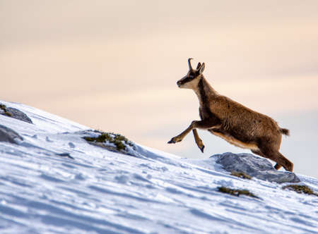 Chamois in the snow on the peaks of the National Park Picos de Europa in Spain. Rebeco,Rupicapra rupicapra. Stock Photo
